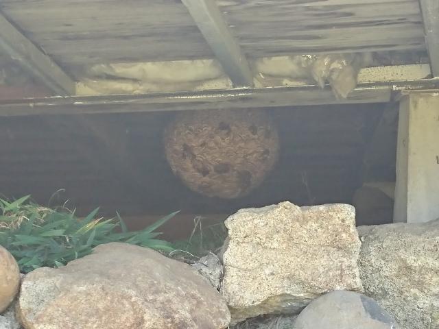 巨大スズメバチの巣_近景